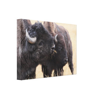 bison friendship canvas print