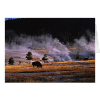Bison grazing in the Upper Geyser Basin near Card