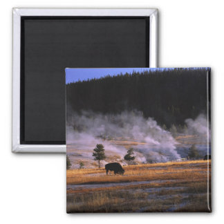 Bison grazing in the Upper Geyser Basin near Square Magnet