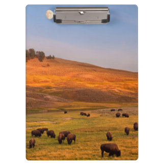 Bison Grazing on Hill at Hayden Valley Clipboard