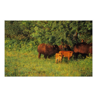 Bison Herd at Neil Smith NWR in Iowa Poster