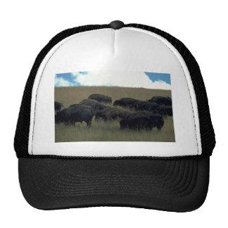 Bison Herd In Dry Grass Cap