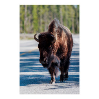 Bison in roadway in Yellowstone National Park Poster