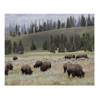 Bison in the Hayden Valley of Yellowstone Posters