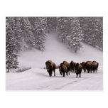 Bison in Winter Postcard
