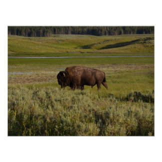 Bison in Yellowstone National Park Posters