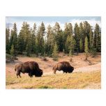 Bison in Yellowstone National Park , Wyoming Postcard