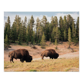 Bison in Yellowstone National Park , Wyoming Poster
