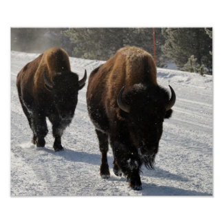 Bison On The Road Poster
