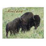 Bison pair grazing in Montana Postcard