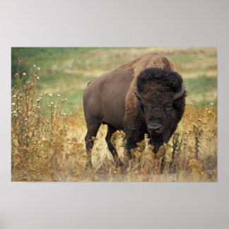 Bison photo print