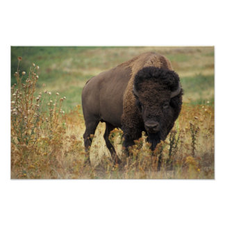 Bison photo poster