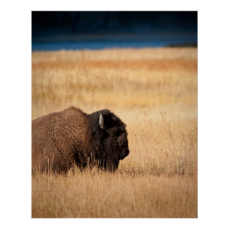 Bison Posters