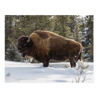 Bison standing in snow postcard