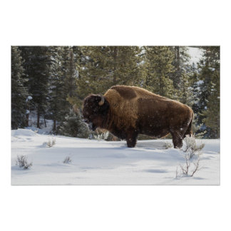 Bison standing in snow poster
