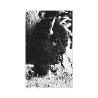 Bison Upclose in b/w Stretched Canvas Prints