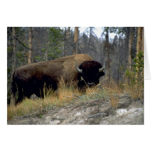 Bison, Upper Geyser Basin, Yellowstone National Pa Cards