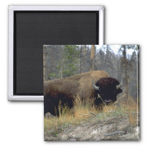 Bison, Upper Geyser Basin, Yellowstone National Pa Magnet