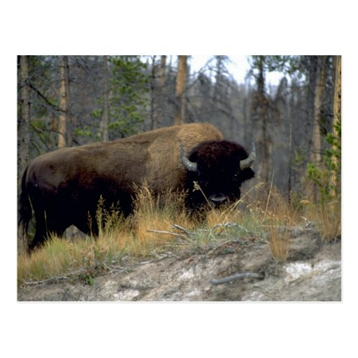 Bison, Upper Geyser Basin, Yellowstone National Pa Post Cards