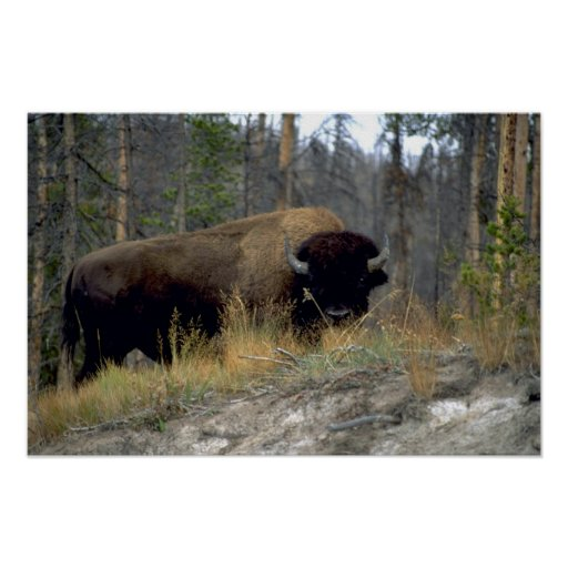 Bison, Upper Geyser Basin, Yellowstone National Pa Print