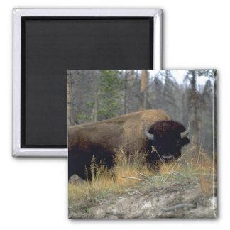 Bison, Upper Geyser Basin, Yellowstone National Pa Square Magnet