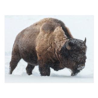 Bison walking in snow postcard