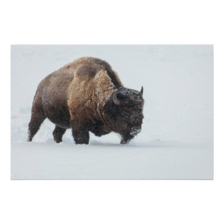 Bison walking in snow posters