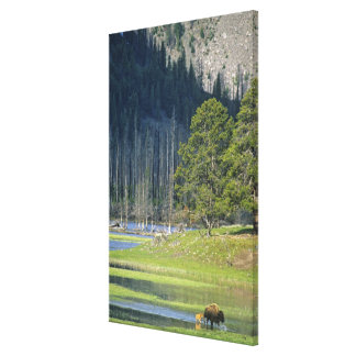 Bison with calf at Yellowstone National Park Canvas Print