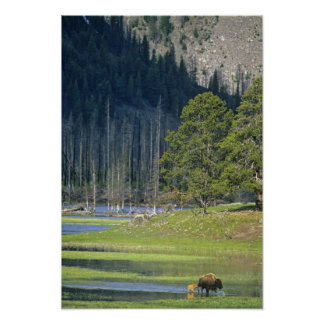 Bison with calf at Yellowstone National Park Poster
