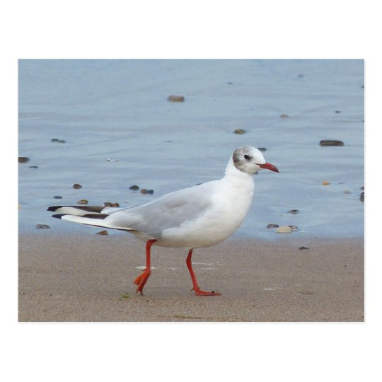 Blach headed gull postcard