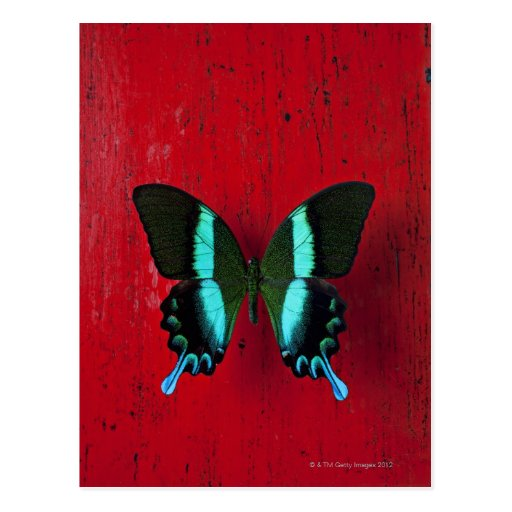 Black and blue butterfly on red wall post card