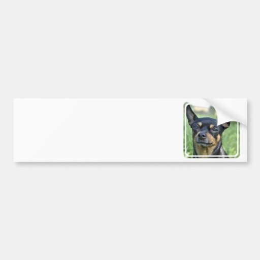 Black and Brown Chihuahua Bumper Stickers