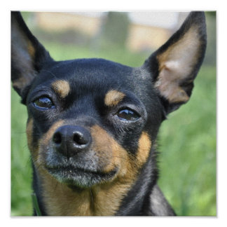 Black and Brown Chihuahua Poster