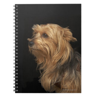 Black and brown Yorkie left profile on black Notebook