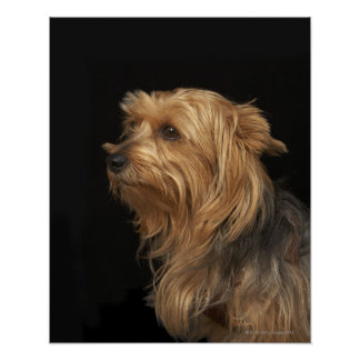 Black and brown Yorkie left profile on black Print