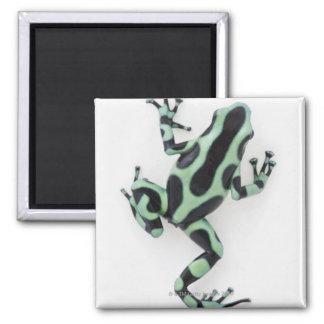 Black and Green Poison Dart Frog 2 Square Magnet