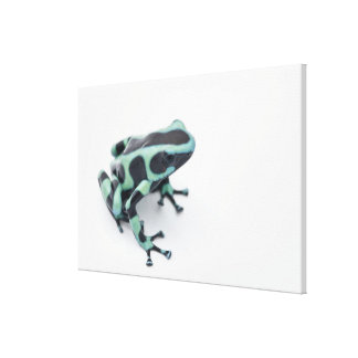 black and green poison dart frog (dendrobates canvas print