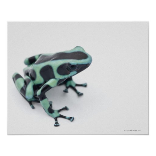 black and green poison dart frog (dendrobates posters