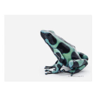 Black and Green Poison Dart Frog Postcard