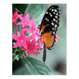Black and Orange Butterfly Postcards