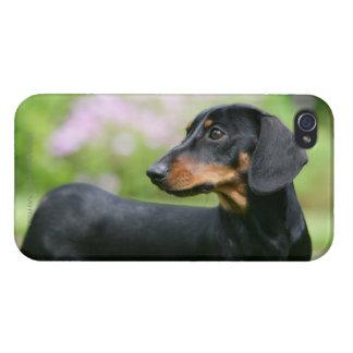 Black and Tan Miniture Dachshund 2 iPhone 4/4S Case