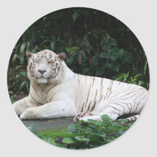 Black and White Bengal Tiger relaxed and smiling Classic Round Sticker