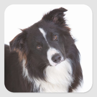 Black And White Border Collie Puppy Dog Square Sticker