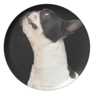 Black and white Boston Terrier looking up Plate