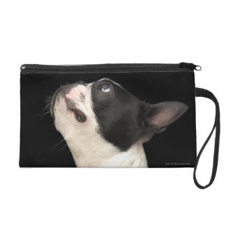 Black and white Boston Terrier looking up Wristlet