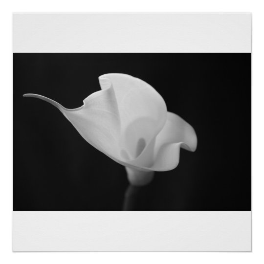 Black and White Calla Lilly Poster