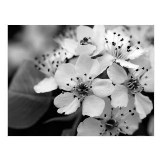 Black and White Cherry Blossom Postcard