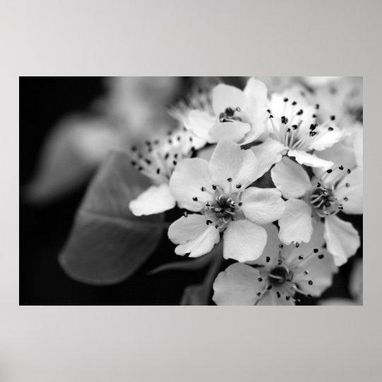 Black and White Cherry Blossom Poster