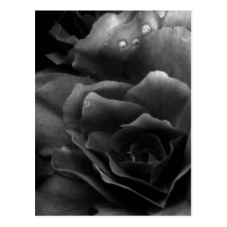 Black and White Close Up of a Double Begonia Postcard
