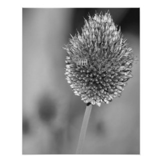 Black and White Clover Flower with Bee Photography Poster